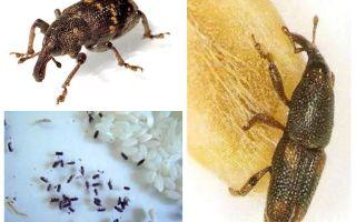 Rijstkever - een kwaadaardige plaag van granen