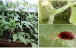 Methoden om spintmijten op zaailingen te behandelen