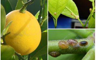 Hoe om te gaan met het schild op een citroen
