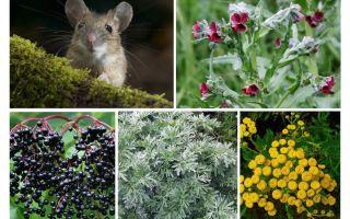 Gras van muizen