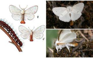 Beschrijving en foto van vlinder en rupsen