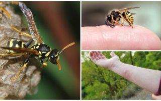 Wasp beet, voordeel of schade van wespengif