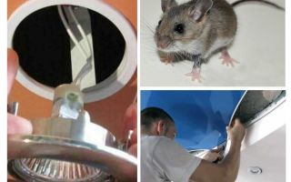 Hoe zich te ontdoen van muizen in het spanplafond