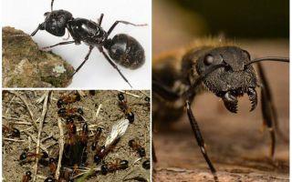 Woodwind Ants