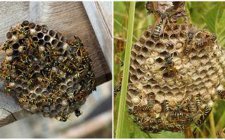 Hoe om te gaan met wespen in het land, zelfs op de ontoegankelijke plaats