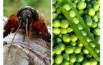 Vecht met de Medvedka-lenterwten