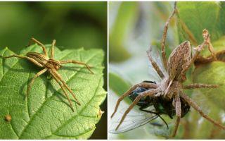Hoeveel gewone spinnen leven in een appartement en in de natuur