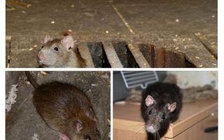 Hoe een rat in huis te vangen