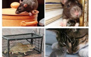 Hoe zich te ontdoen van knaagdieren in een prive-huis