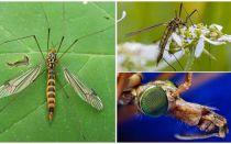 Grote muggen met lange benen (blikjes)