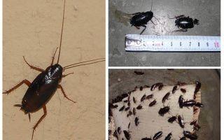 Hoe zich te ontdoen van de grote zwarte kakkerlakken in het appartement