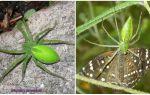 Groene spinnen in Rusland