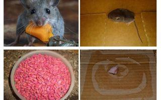 Hoe muizen uit de garage te krijgen