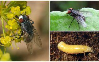 Beschrijving en foto van een vleesvlieg (sterfelijk)