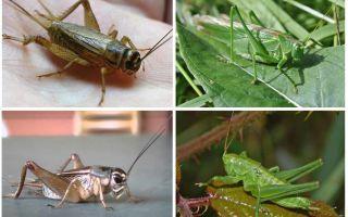 Verschillen cricket en sprinkhaan