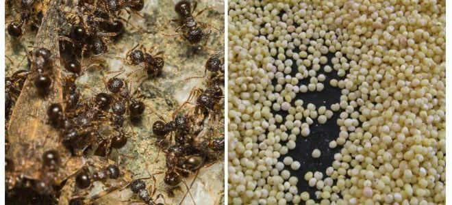 Gierst tegen mieren in het land