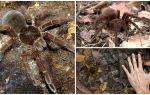 Beschrijving en foto van de goliath-vogelspin