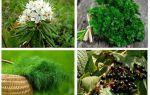 Effectieve folk remedies voor luizen en neten