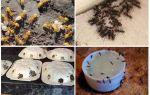 Hoe zich te ontdoen van gele mieren in de zomer cottage of tuin