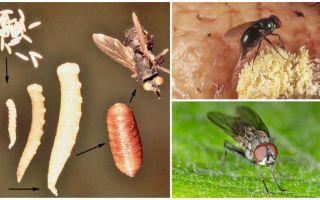 Wat gebeurt er als je eieren eet of larven vliegt?
