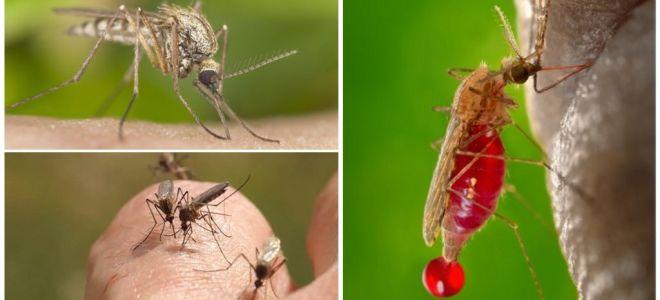 Mensen met welke bloedgroep het vaakst worden gebeten door muggen