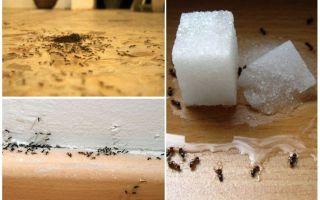 Hoe mieren uit een appartement thuis te verwijderen