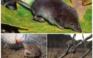 Hoe ziet de spitsmuis eruit, foto en beschrijving