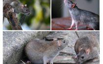 Hoeveel jaar hebben ratten geleefd