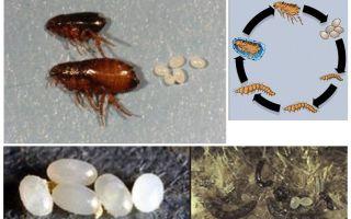 De levenscyclus van een vlo, hoe de eieren en larven van vlooien eruit zien