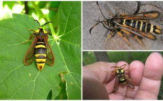 Insect als een grote wesp