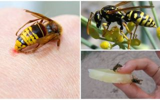 Wat en hoe een wesp bijt