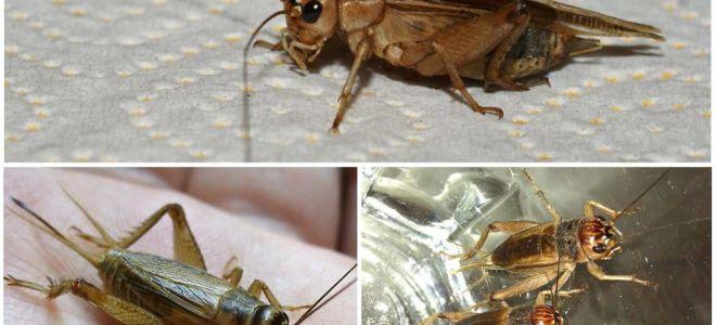 Beschrijving en foto's van bananen cricket