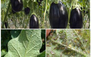 Hoe thuis te vechten met bladluizen op aubergines