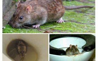 Kan een rat uit het toilet komen