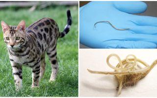 Symptomen en behandeling van ascariasis bij katten