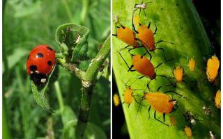 Lieveheersbeestje en bladluis