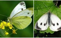 Beschrijving en foto's van rupsen en koolvlinders