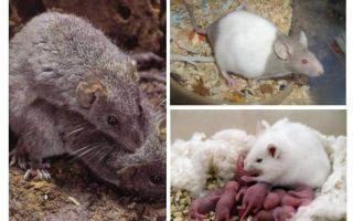 Fokken van muizen