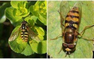 Beschrijving en foto van een gestreepte vlieg die op een wesp lijkt