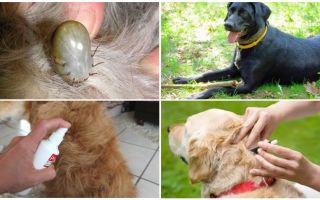 De beste medicijnen voor honden van teken en vlooien