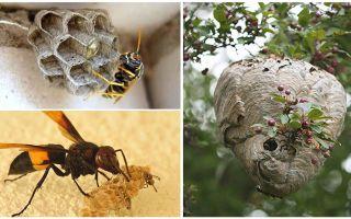 Hoe zich te ontdoen van wespen in de bijenstal
