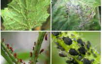 Hoe om te gaan met bladluizen in de tuin en in de tuin van volksremedies