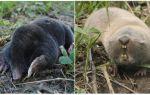 Wat verschilt van de mol mol rat