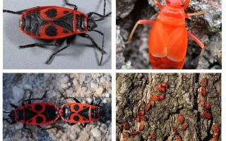De bug van de soldaat (Rode vleugelloze vleugelloze)