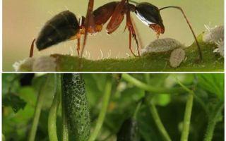 Hoe om te gaan met mieren in de tuin met komkommers