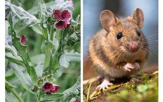 Plant zwarte wortel van muizen