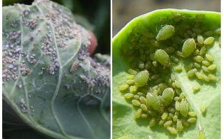 Hoe en wat om bladluizen op kool te verwerken