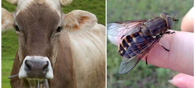 Hoe een koe van horzels en horzels thuis te behandelen