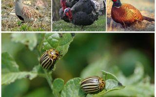 Wat vogels en insecten Colorado kevers eten