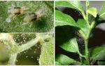Hoe zich te ontdoen van spintmijten op kamerplanten